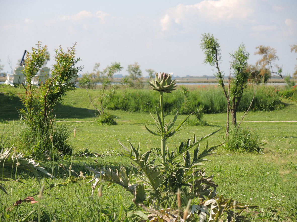 Artichoke field in Torcello