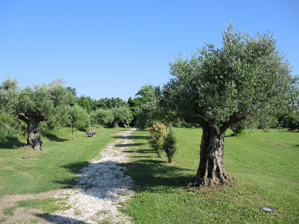 Olive trees in Torcello